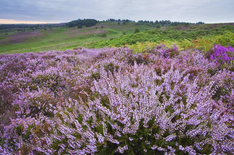 New Forest heathland Ling (Erica cinerea)
