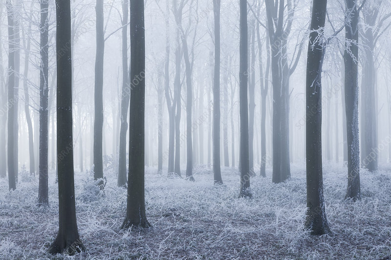 Beech (Fagus sylvatica) woodland in mist and frost