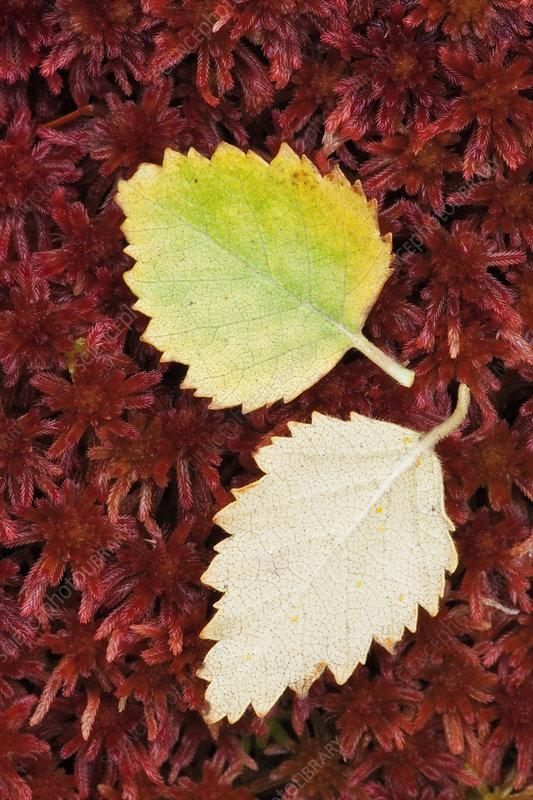 Fallen Silver Birch (Betula pendula) leaves on Sphagnum Moss