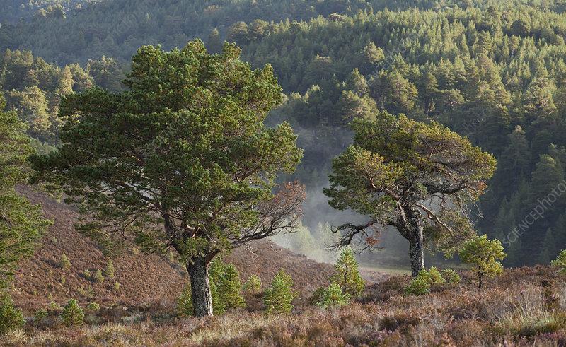 Scot's Pines (Pinus sylvestris) on moorland