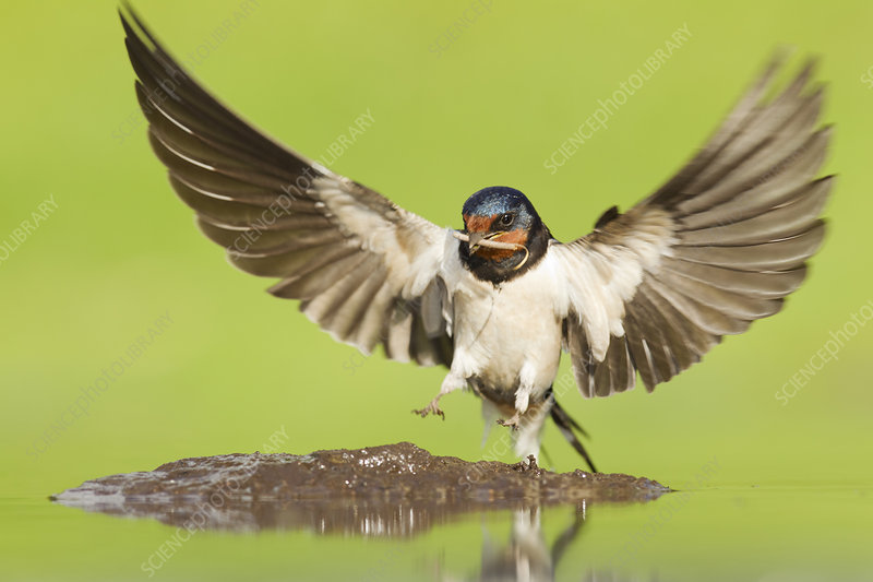 Barn Swallow alighting at pool to collect mud for nest