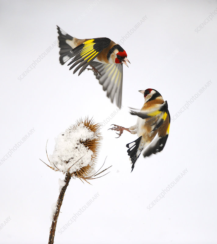 Goldfinches squabbling over teasel seeds in winter