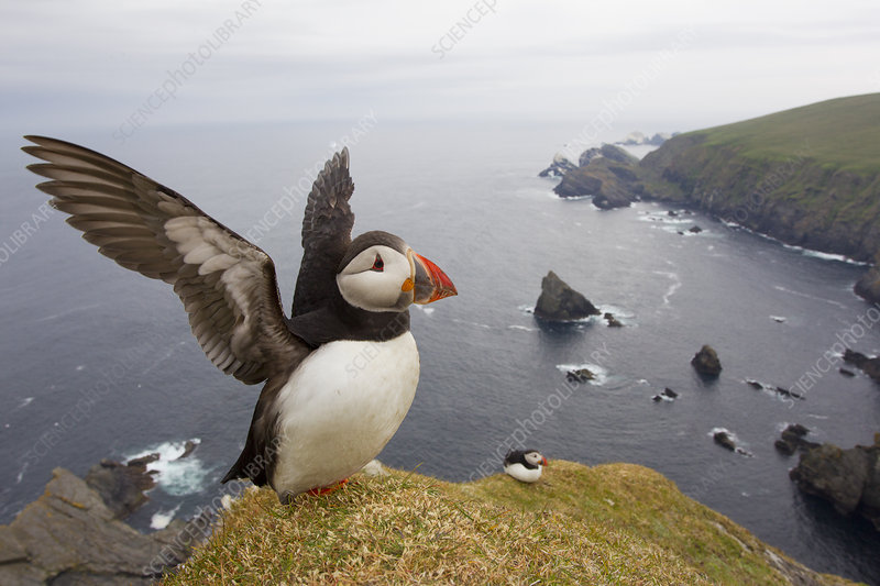Atlantic Puffin adult on breeding cliffs