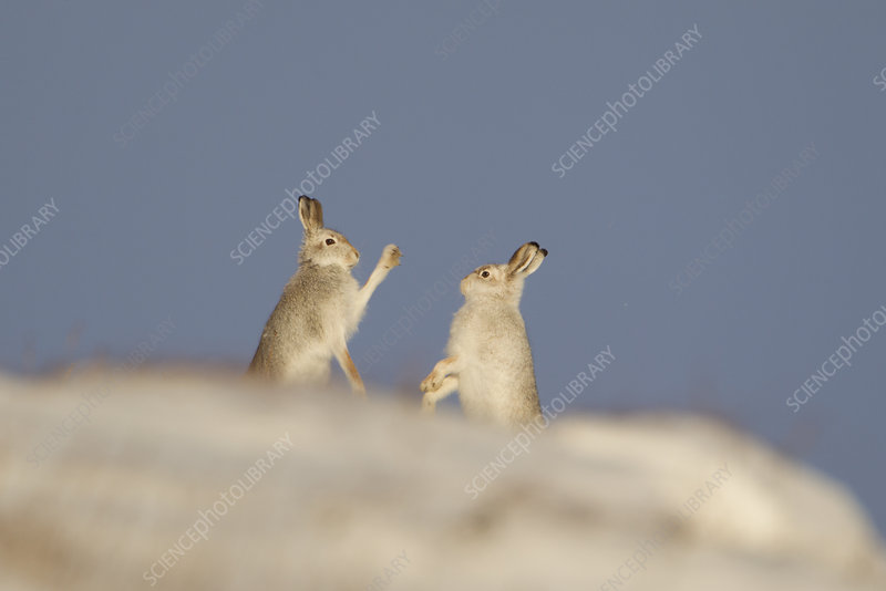 Mountain Hares boxing in winter