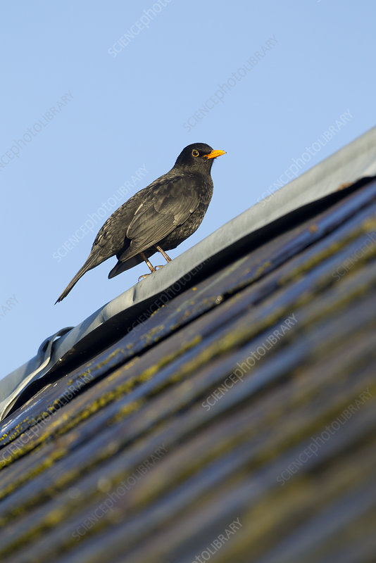 Male Blackbird perched on old barn roof