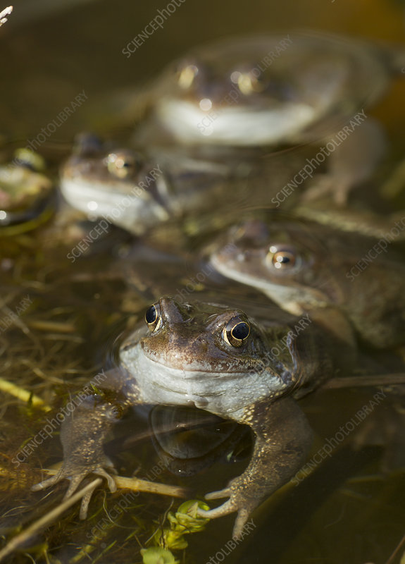 Common frogs spawning in garden pond