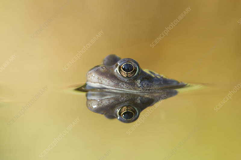 Common frog in garden pond