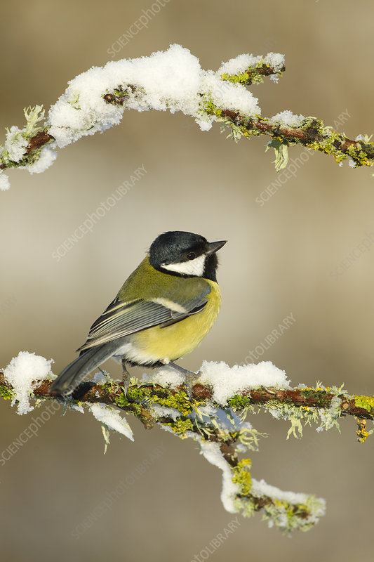 Great tit perched on branch in snow, Scotland, UK
