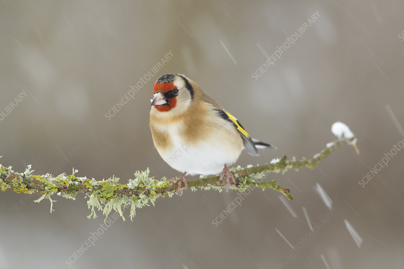 Goldfinch perched on branch in snow, Scotland, UK