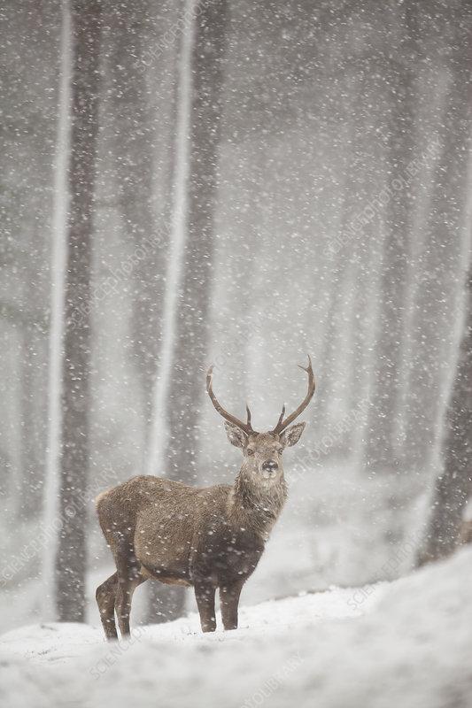 Red deer in heavy snowfall