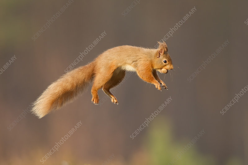 Red squirrel jumping, Cairngorms National Park, Scotland, UK