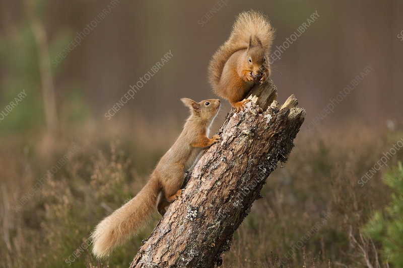 Red squirrel approaching another as it eats a nut