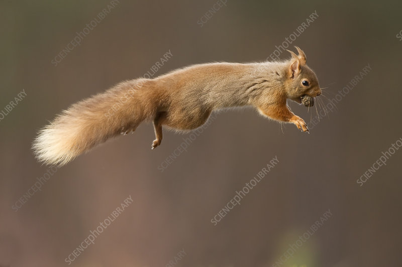 Red squirrel jumping with nut in mouth