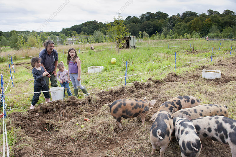 Woman and children watching domestic pigs feeding