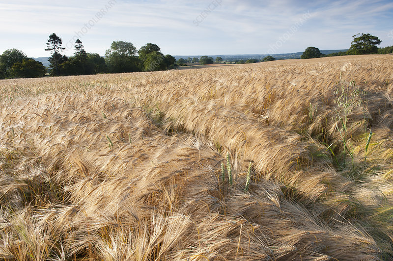 Ripe Barley crop in field