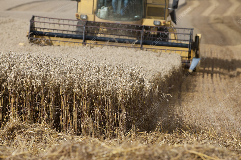 Combine harvester harvesting Oats