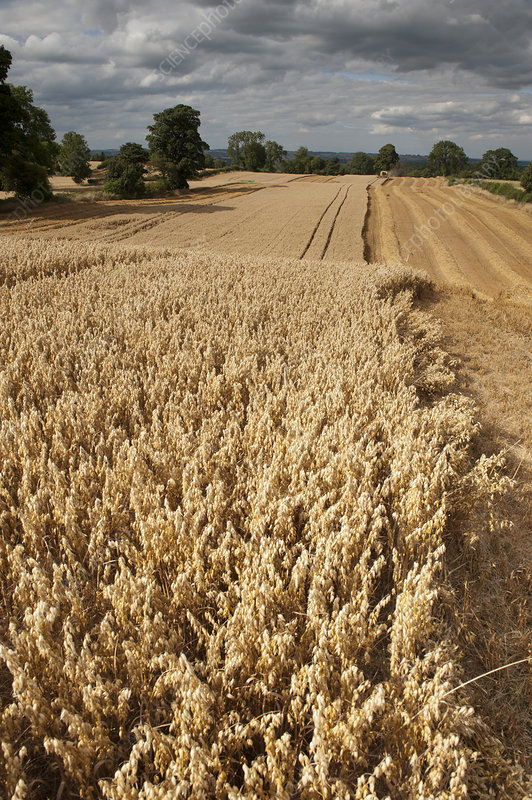 Field of ripe Oats with Combine harvester in the distance