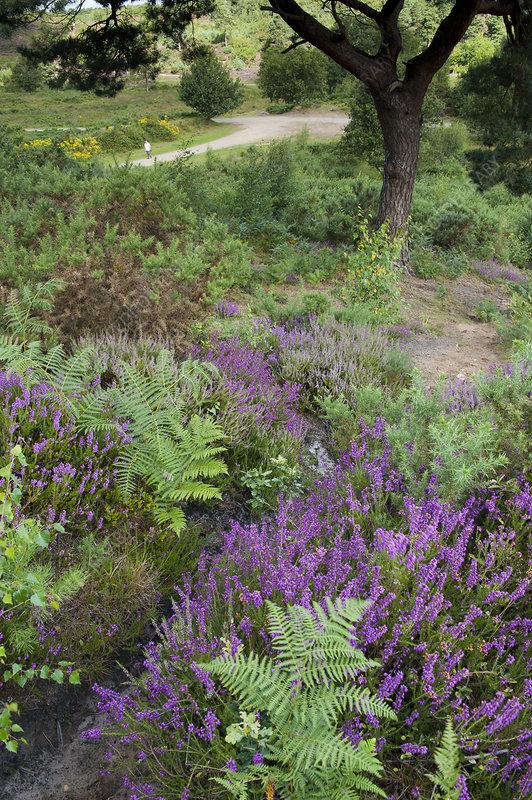 Flowering Heather and Bracken on lowland heath