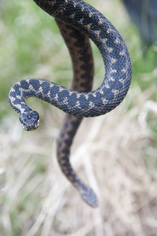 Man holding two Adders