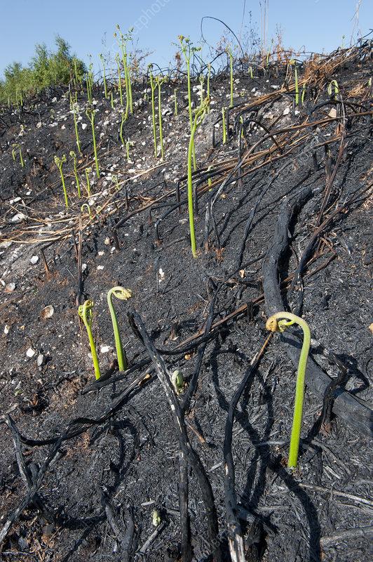 Recently burnt heathland