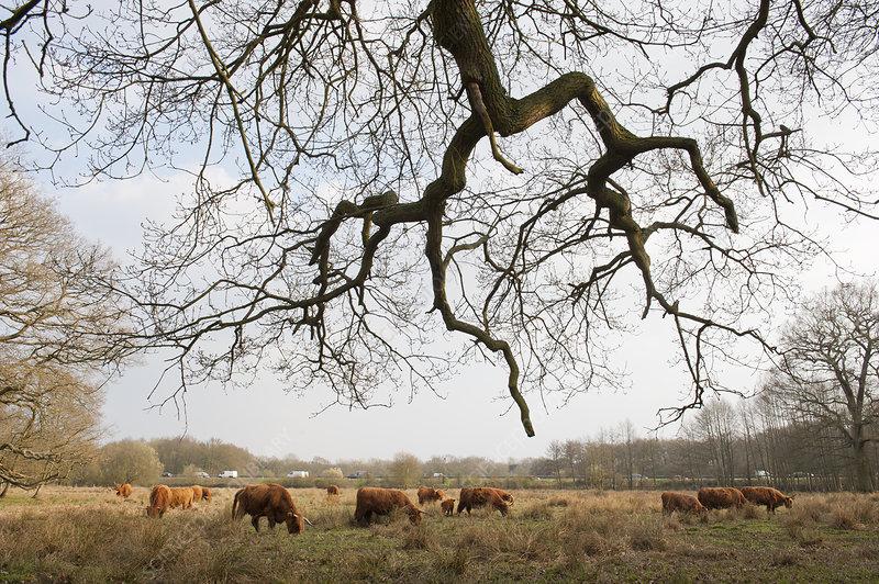 Highland cattle herd grazing