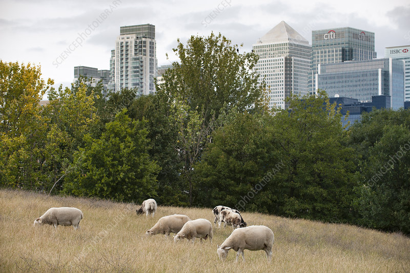 Domestic sheep grazing on urban pasture
