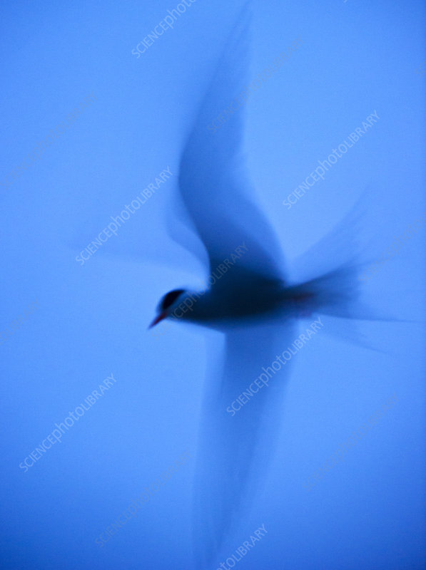 Arctic tern in flight at twilight