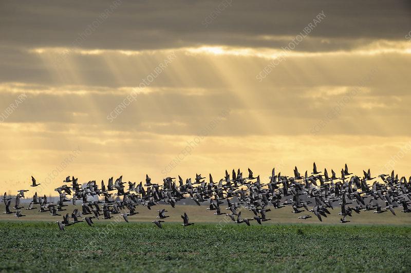 Dark-bellied brent geese taking flight from grazing field