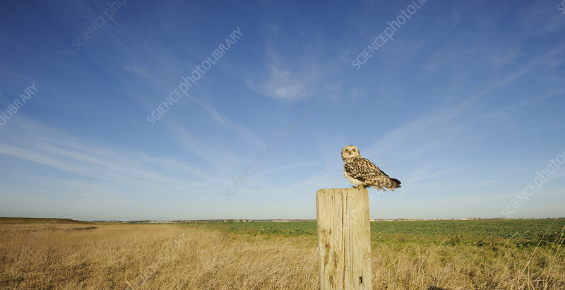 Short-eared owl perched on post