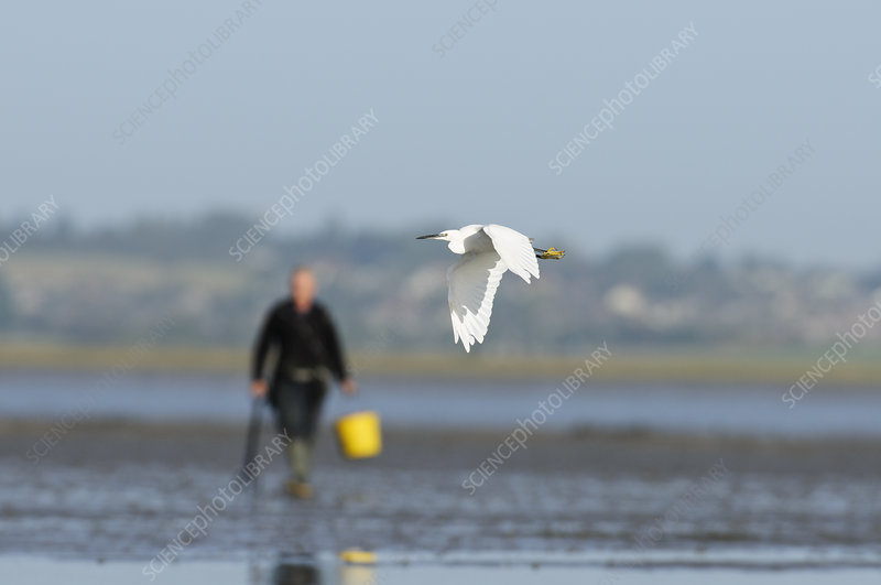 Little egret in flight with bait digger in background