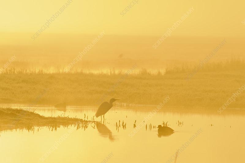 Little Egret, North Kent Marshes, Elmley Nature Reserve