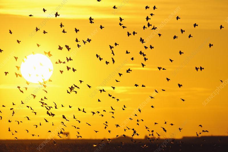 Corn buntings in flight