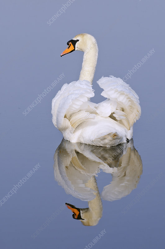 Mute swan, Kent, England, UK, March