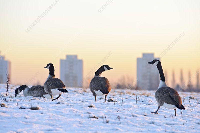 Canada geese grazing in snow