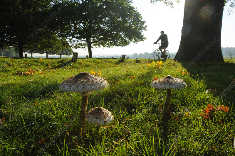 Parasol mushrooms, Richmond Park, London, England, UK