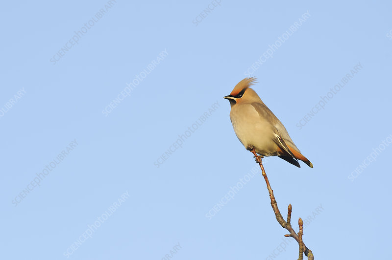 Waxwing perched in a tree