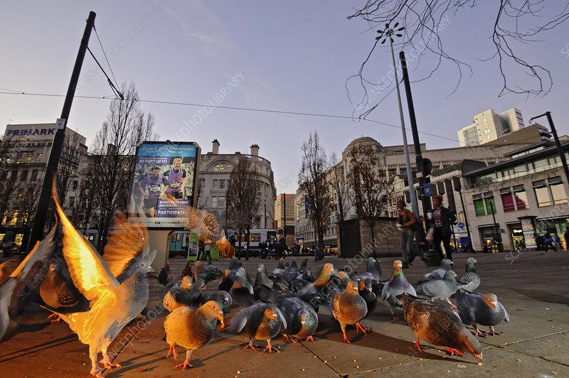 Feral pigeons, Manchester, England, UK
