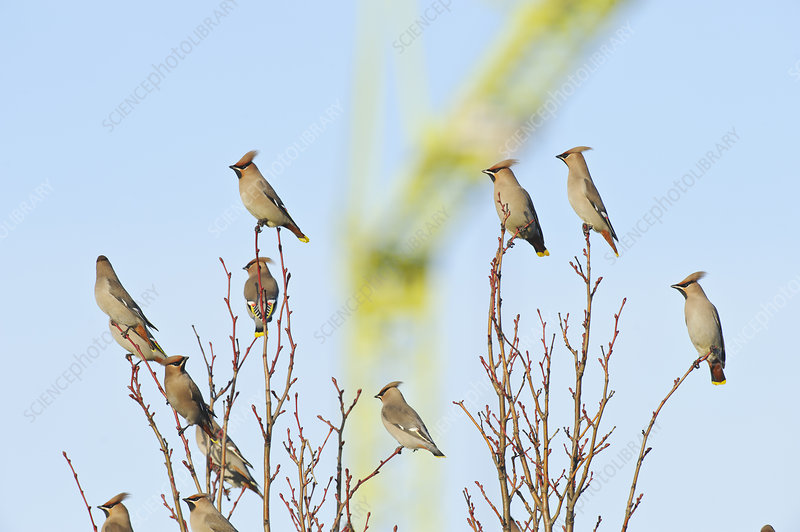 Flock of Waxwings perched in a tree