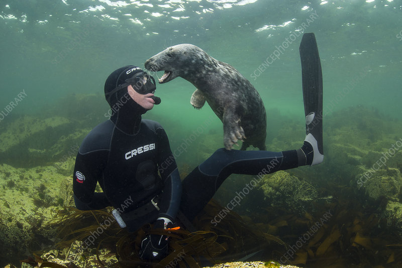 Young Grey seal playing with snorkeller