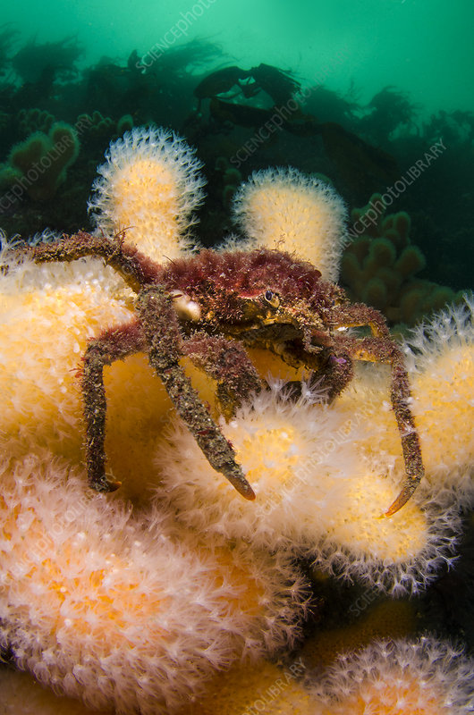 Great spider crab on Deadman's fingers coral