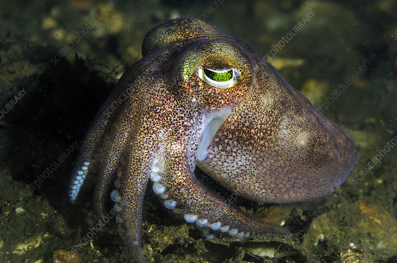 Stout bobtail squid on the seabed, Loch Creran, Scotland, UK