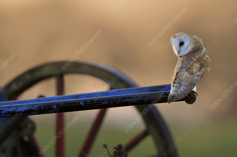 Barn Owl perched on old plough, Wales, December