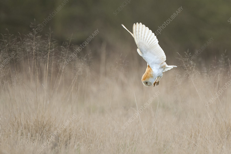 Barn Owl diving towards prey