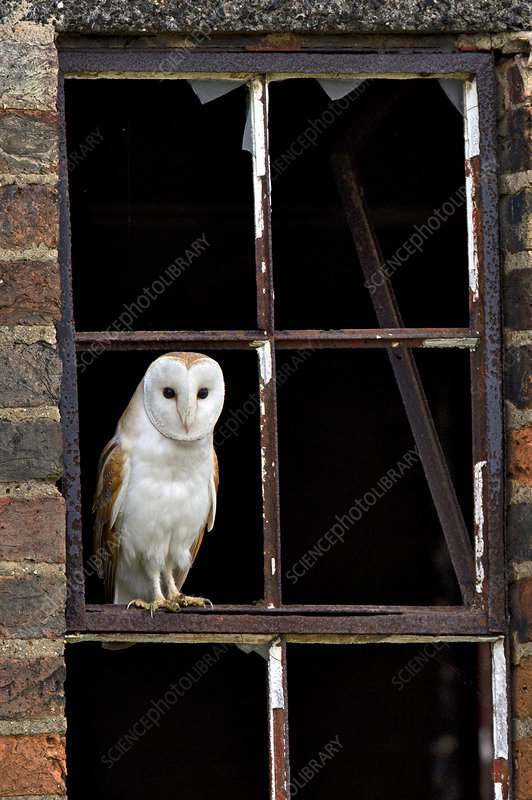 Barn Owl perched in old window frame