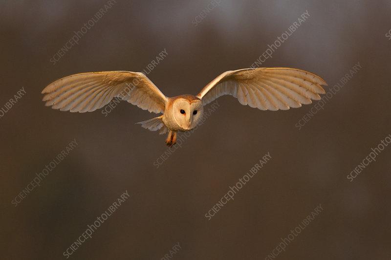 Barn Owl in flight in morning light, Wales, UK, March