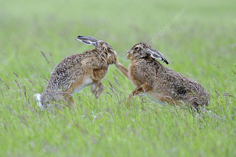 European Hares boxing