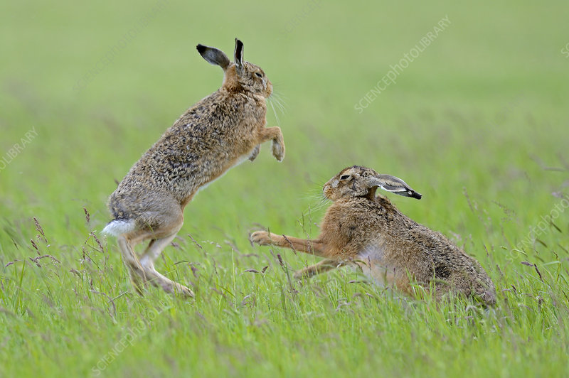 European Hares boxing