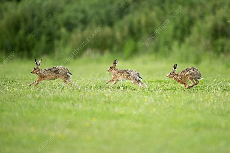 Three European Hare chasing