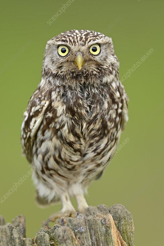 Little Owl portrait on post