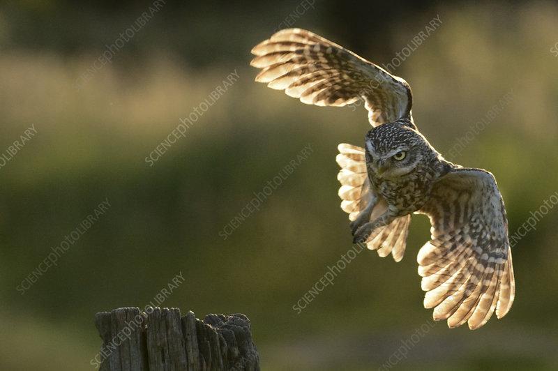 Little Owl taking flight from a post, Wales, UK, June